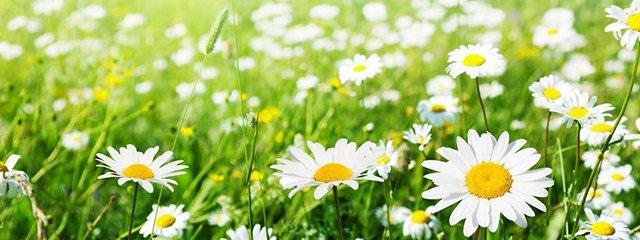 flowers daisy_640x240